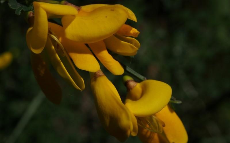 Genêts en fleur 2