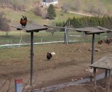 L\'accueil par les gallinacées 1
