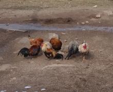 L'accueil par les gallinacées 2