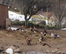 L'accueil par les gallinacées 3