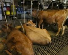 Les vaches font partie des lieux