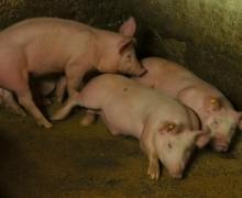 Les cochons de même