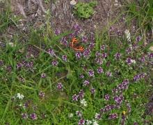 Papillon sur serpolet