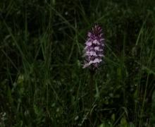 La belle orchidée