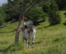 Sel pour la vache