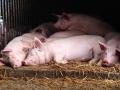 Les porcs d'à côté...