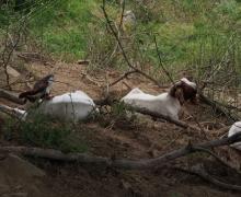 Chèvres au repos