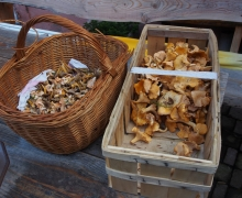 Tout frais cueillis les champignons