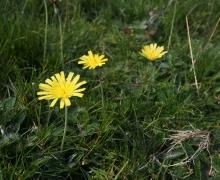 Arnica montana, famille des Astéracées