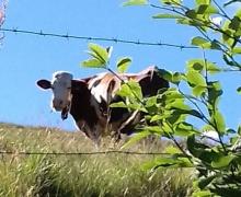 Salut bovin