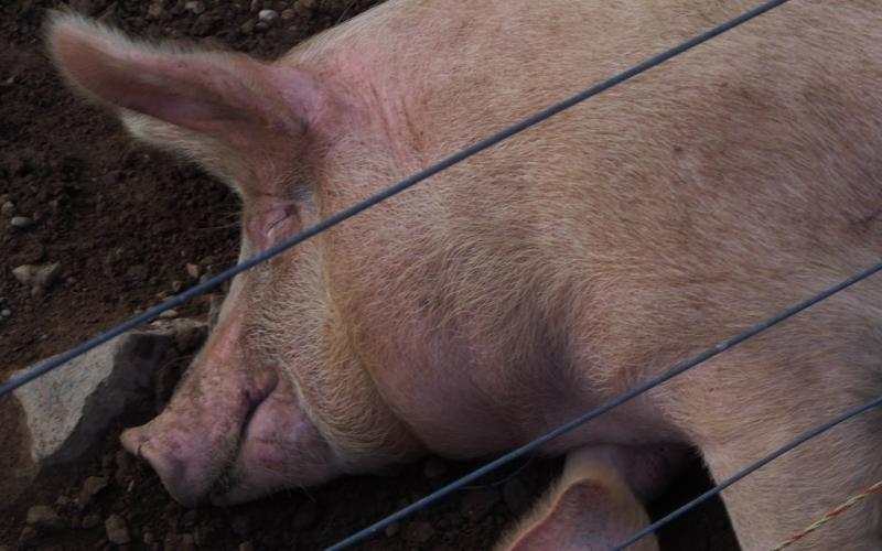 Les porcins de la ferme
