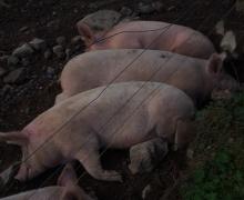 Chaleur porcine