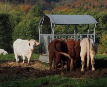 Les bovins de la ferme