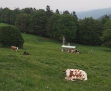Une double cantine pour les vaches