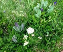 Gentiane, violettes et plus