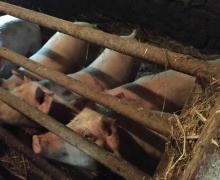 Cochons heureux