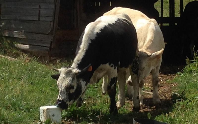 Vache joueuse ?
