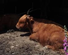 Le repos de la Highland