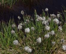 Un champ de linaigrettes