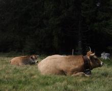 Les bovins du Platzerwasen 3