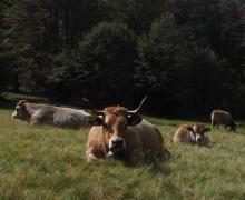 Les bovins du Platzerwasen 4