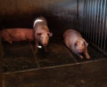 Les cochons aussi