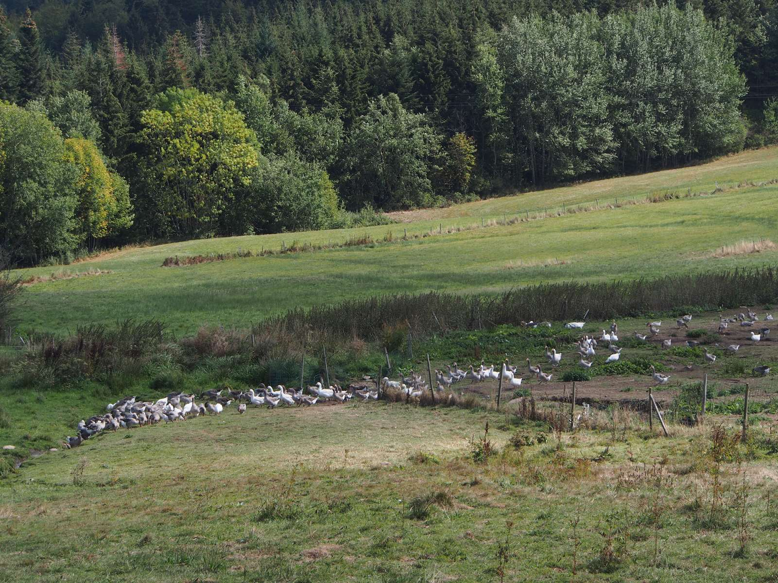 Oies et canards du Kreuzwzeg