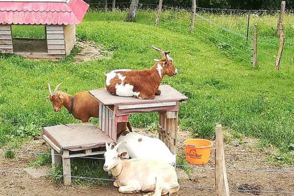 Les chèvres du Graber