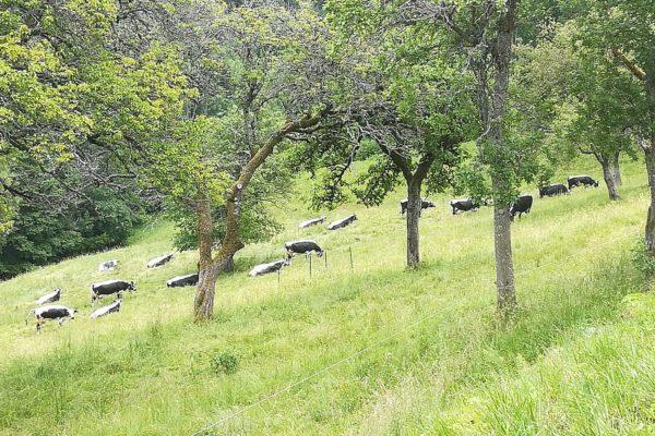 Les vaches du Hohlschlag