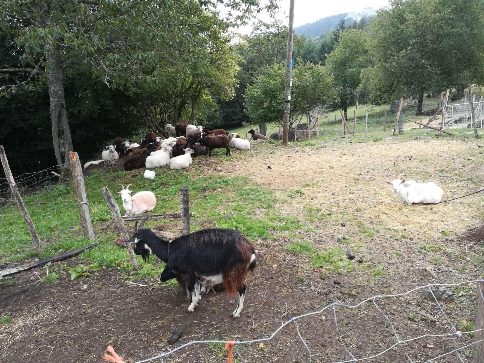 Les chèvres du Gustiberg